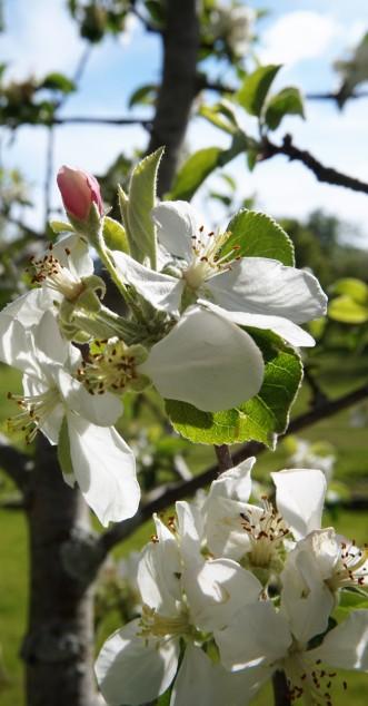 Macoun Apple